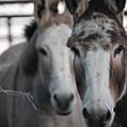 Curious Donkeys Art Print