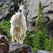 Curious Goat Art Print
