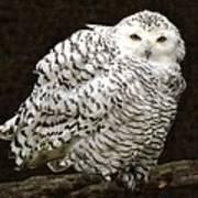 Curious Snowy Owl Art Print