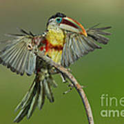 Curl-crested Aracari About To Perch Art Print