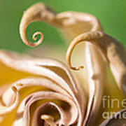 Curled Petals Art Print