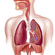 Cutaway Diagram Of Human Respiratory Art Print