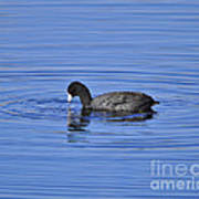 Cute Coot Art Print by Al Powell Photography USA