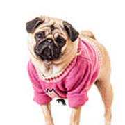 Cute Pug Wearing Sweater Art Print