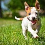 Cute Stafford Puppy Running On Field Art Print