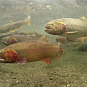 Cutthroat Trout In The Spring Idaho Art Print by Michael Quinton