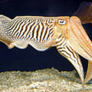 Cuttlefish 1 Art Print