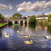 Cygnets At Christchurch  Art Print