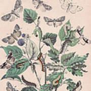 Cymatophoridae - Acronyctidae Art Print