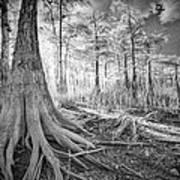 Cypress Roots In Big Cypress Art Print