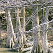 Cypress Trees Art Print