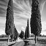 Cypress Trees - Tuscany Art Print