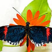 Cythera Butterfly Art Print