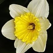 Daffodil 2014 Art Print