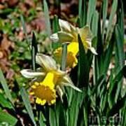 Daffodil Buddies Art Print