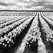 Daffodil Fields II Art Print