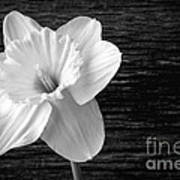 Daffodil Narcissus Flower Black And White Art Print