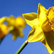 Daffodil Line Art Print