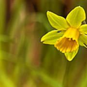 Daffodil - No. 1 Art Print