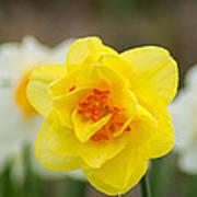 Daffodil Standout Art Print