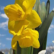 Daffodills In Spring Art Print