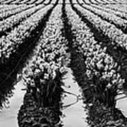 Daffodils Forever Art Print