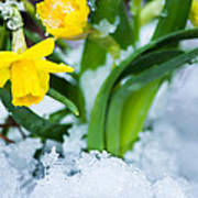 Daffodils In The Snow  Art Print