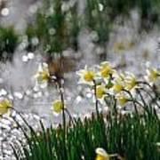 Daffodils On The Shore Art Print