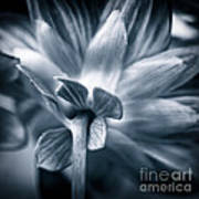 Dahlia Blue Art Print