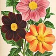 Dahlia Coccinea From A Begian Book Of Flora. Art Print