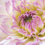 Dahlia Delight Square  Art Print