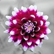 Dahlia Flower 2 Art Print