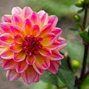 Dahlia In Full Bloom Art Print
