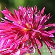 Dahlia Named Normandy Wild Willie Art Print