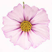 Dainty Pink Cosmos On White Background. Art Print