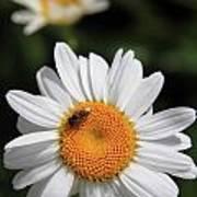Daisy Bee Nice Art Print