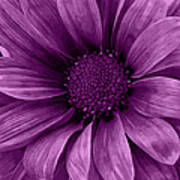 Daisy Daisy Grape Art Print