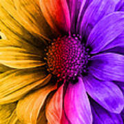Daisy Daisy Yellow To Purple Art Print
