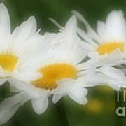 Daisy Flower Trio Art Print
