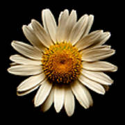 Daisy On Black Square Art Print