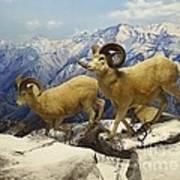 Dall Sheep Diorama Art Print