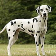 Dalmatian Dog Art Print