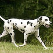 Dalmatian Running Art Print