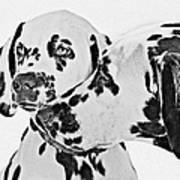Dalmatians - A Great Breed For The Right Family Art Print
