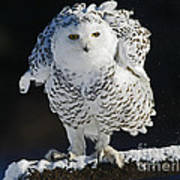 Dance Of Glory - Snowy Owl Art Print