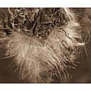Dandelion Burst Sepia Art Print
