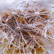 Dandelion Closeup Art Print