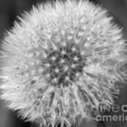 Dandelion Fluff In Black And White Art Print