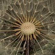 Dandelion Seed Pod Art Print
