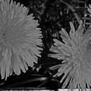 Dandelion Weeds? B/w Art Print